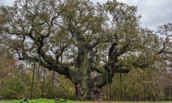 VL oak tree