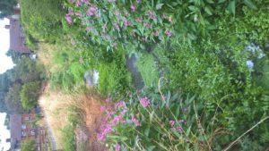 Himalayan Balsam pulling @ Aylesbury