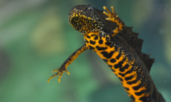 Great Crested Newt by Chris Dresh