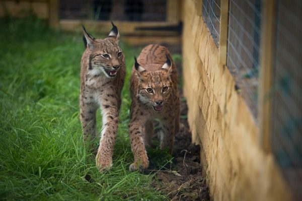 A pair of Lynx arrive at Green Dragon Eco Farm near Quainton from Newquay Zoo
